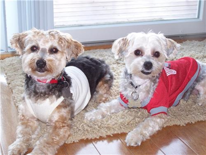 Toby and Elsie - Yorkie Poo Puppy For Sale Premier Pups