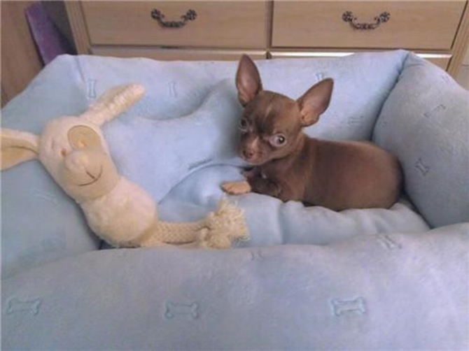 Caesar - Chihuahua Puppy For Sale Premier Pups