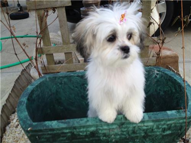 Val Northup - Teddy Bear Puppy For Sale Premier Pups