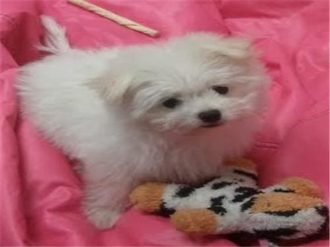 Tank (Snow) - Maltipom Puppy For Sale Premier Pups