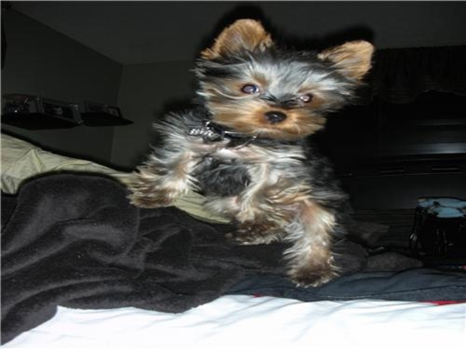 Boomer - Yorkshire Terrier Puppy For Sale Premier Pups