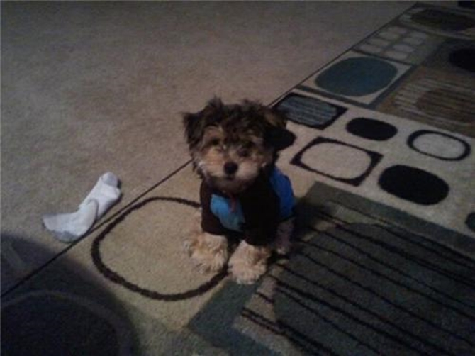 Harley - Morkie Puppy For Sale Premier Pups