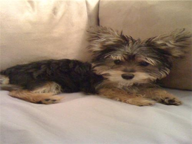 Chico - Morkie Puppy For Sale Premier Pups