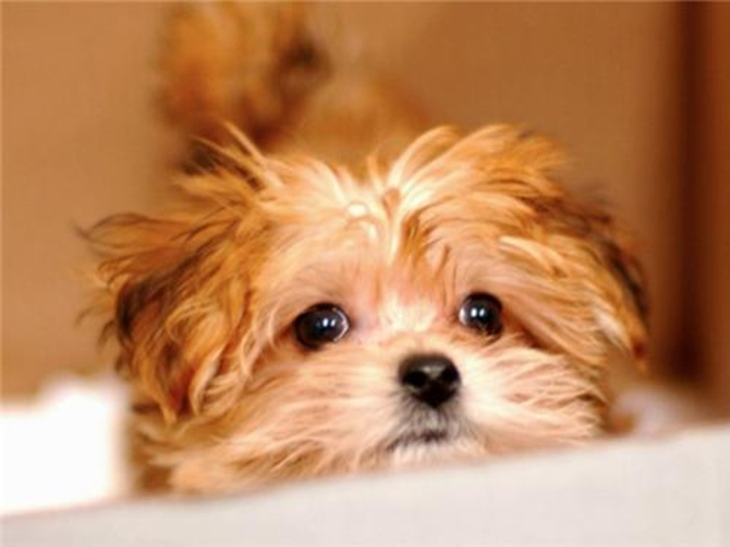 Trixie (formerly known as Amy) - Morkie Puppy For Sale Premier Pups