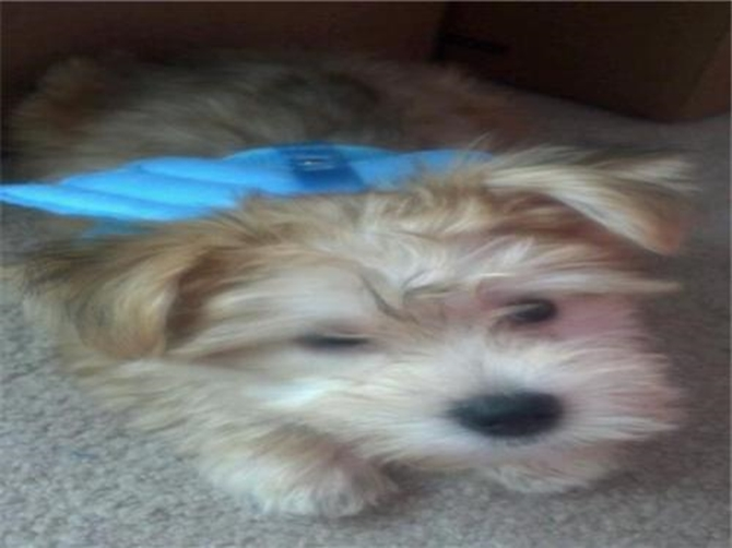 Meeko (previously Jackson) - Morkie Puppy For Sale Premier Pups