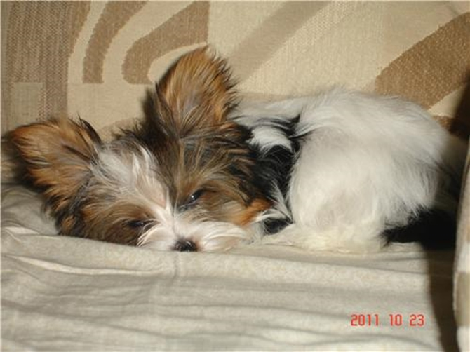 Maggie (Lady Gaga) - Parti Yorkshire Terrier Puppy For Sale Premier Pups