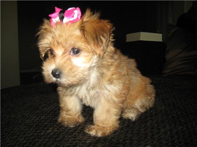 Sabby - Morkie Puppy For Sale Premier Pups