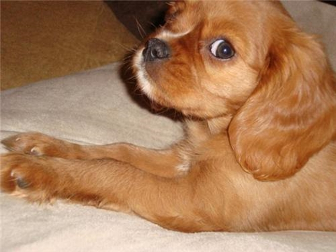 "Macie formerly ""Ruby"" - Cavalier King Charles Spaniel Puppy For Sale Premier Pups"
