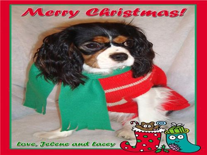 Lacey - Cavalier King Charles Spaniel Puppy For Sale Premier Pups