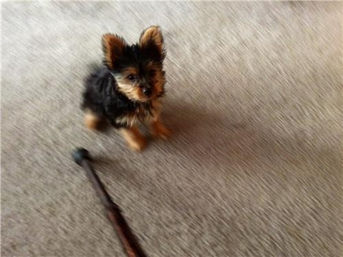 Willow - Yorkshire Terrier Puppy For Sale Premier Pups