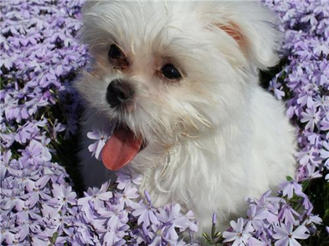 Lilly (formerly Dolly) - Maltese Puppy For Sale Premier Pups