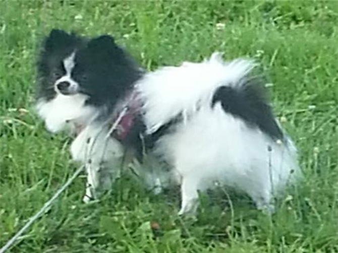 Pixie (almost 2 yrs Old) - Pomeranian Puppy For Sale Premier Pups