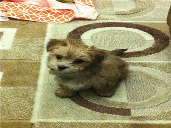 Dino - Morkie Puppy For Sale Premier Pups