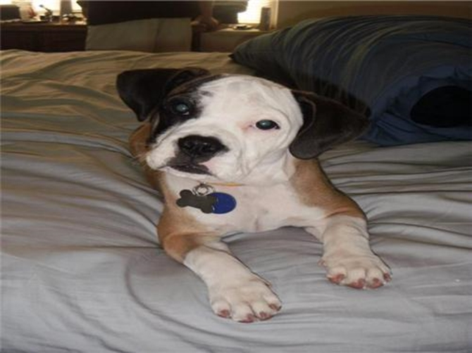 Roxy - English Bulldog Puppy For Sale Premier Pups