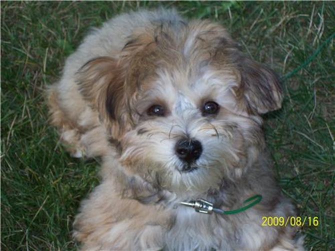 Scout ( aka Flash ) - Yorkie Poo Puppy For Sale Premier Pups