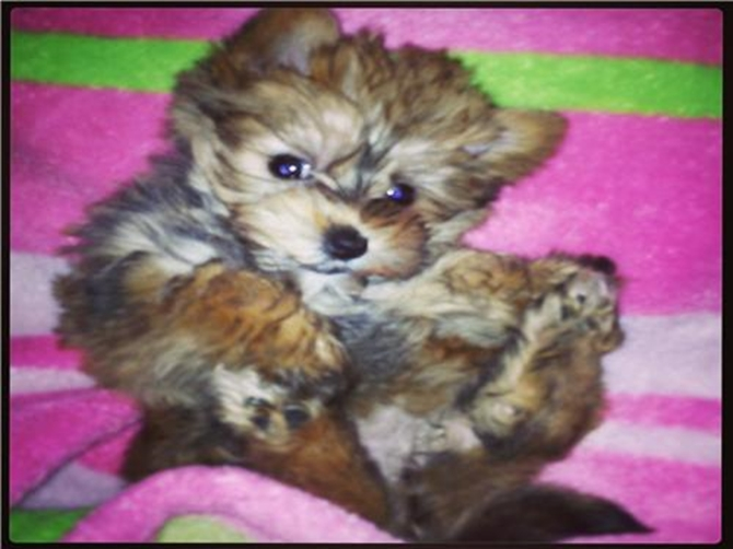 Charlie - Morkie Puppy For Sale Premier Pups