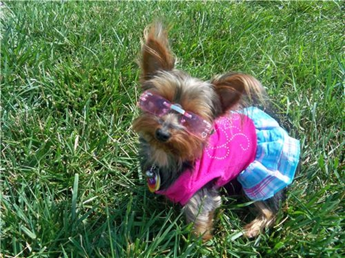 Jessie (formally Madonna) - Yorkshire Terrier Puppy For Sale Premier Pups
