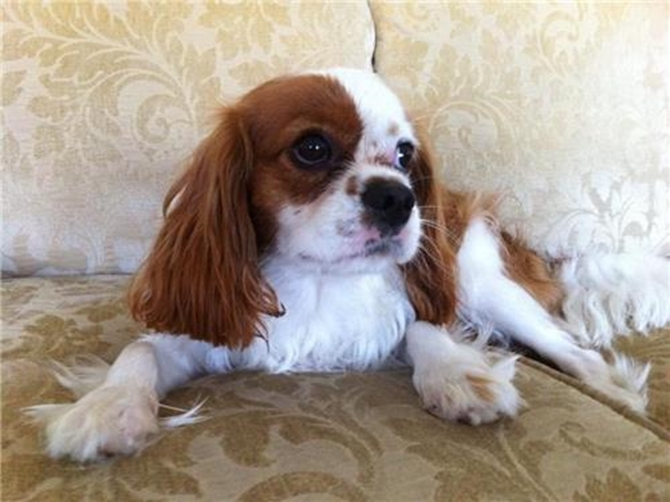 Pele - King Charles Spaniel Puppy For Sale Premier Pups