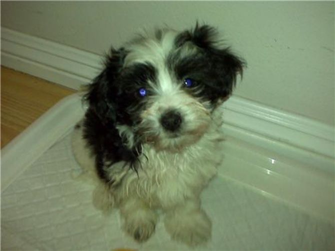 Chappa Oreo (formerly Oreo) - Havanese Puppy For Sale Premier Pups