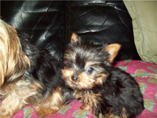 Billy Bojangles - Yorkshire Terrier Puppy For Sale Premier Pups