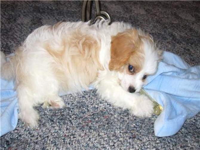 Cotton - Cavachon Puppy For Sale Premier Pups