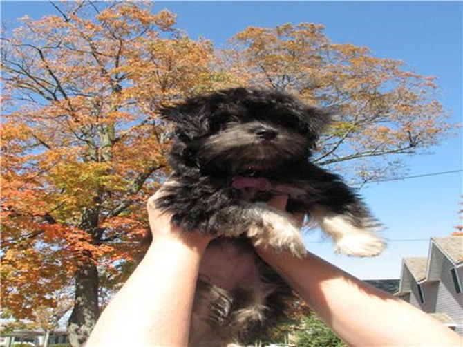 Bella - Havanese Puppy For Sale Premier Pups
