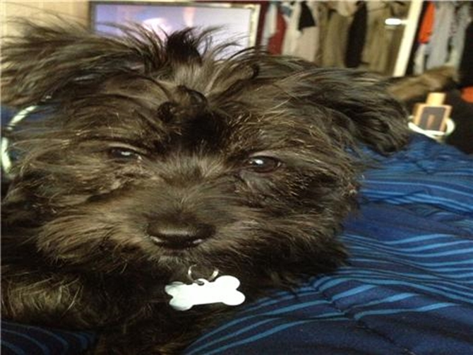 Cooper - Yorkie Poo Puppy For Sale Premier Pups
