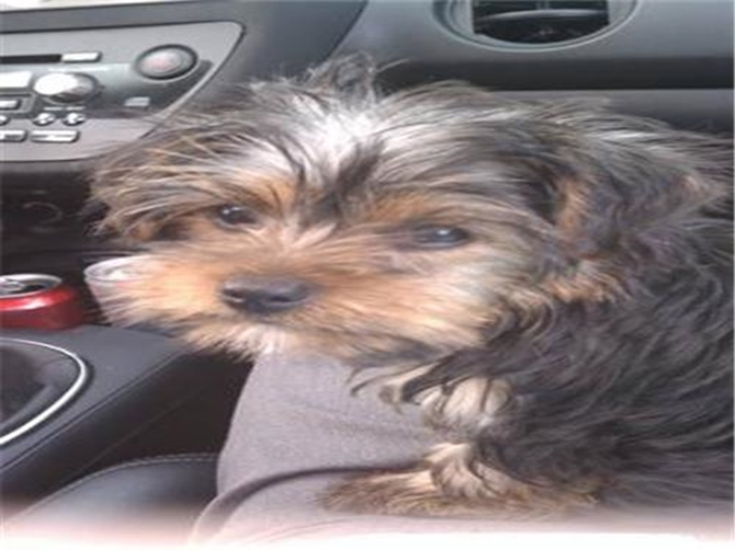 Chewey (formerly Zorro) - Yorkshire Terrier Puppy For Sale Premier Pups