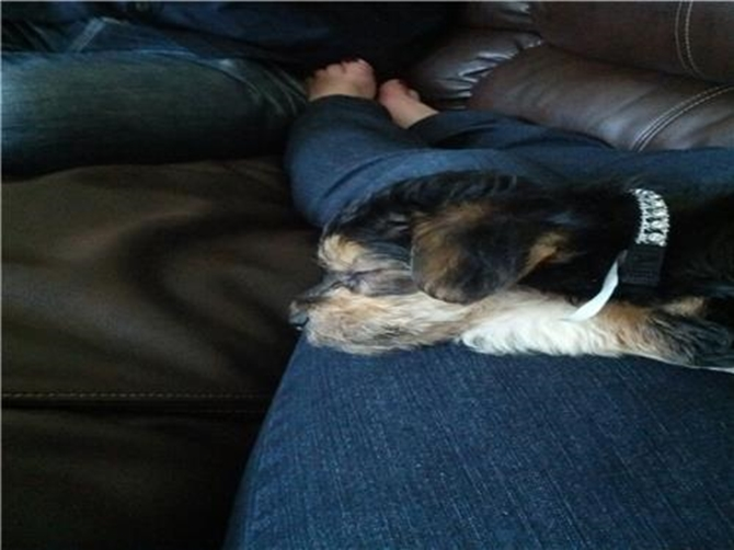Johnny changed to Jax - Morkie Puppy For Sale Premier Pups