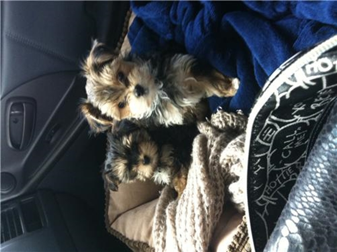 Macaroni & muffin - Morkie Puppy For Sale Premier Pups