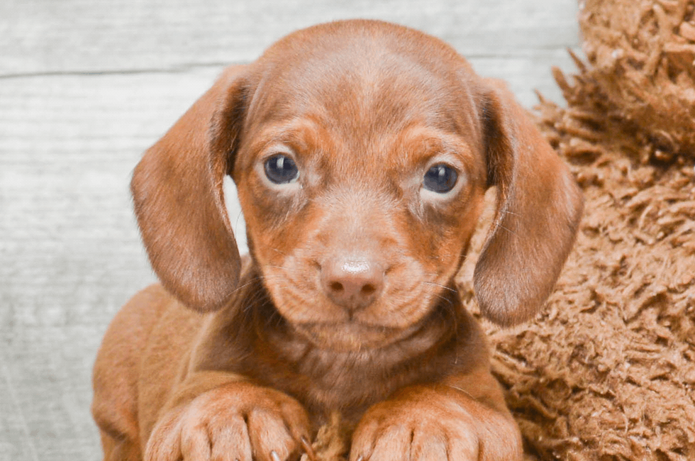 Dachshund Puppies For Sale In Ohio
