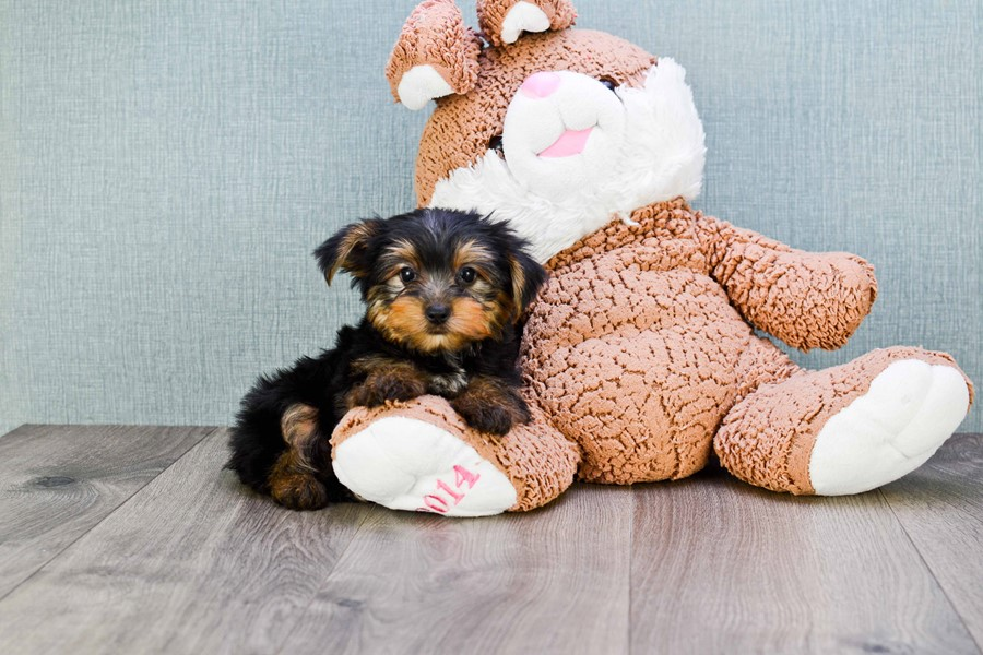 TEACUP YORKIE PUPPY 3