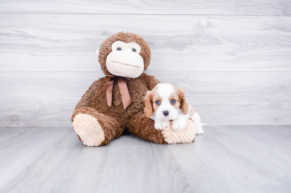 CAVALIER PUPPY - 7 week old Cavalier King Charles Spaniel for sale