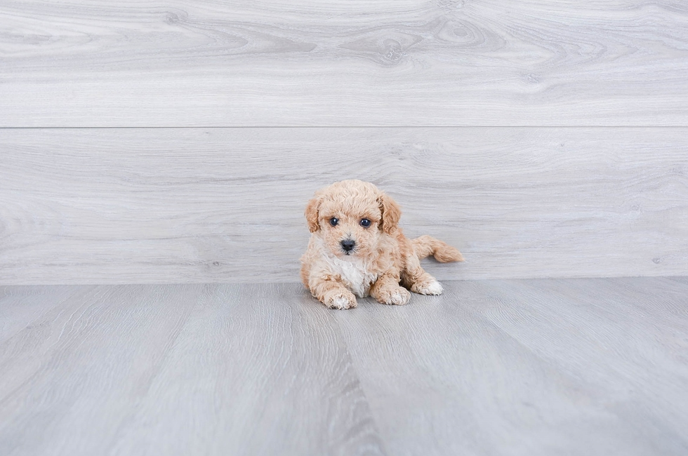 POO CHON PUPPY - 6 week old Malti Poo for sale
