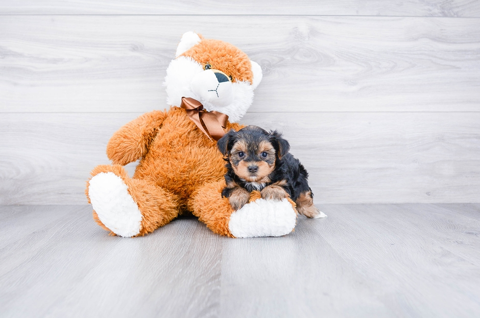 Yorkie Poo Puppies For Sale Designer Dog Breed For Sale In Ohio