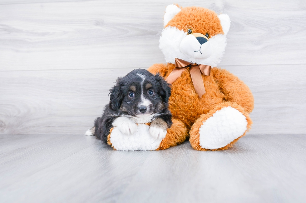 MINI AUSTRALIAN SHEPHERD PUPPY - 6 week old Mini Aussiedoodle for sale