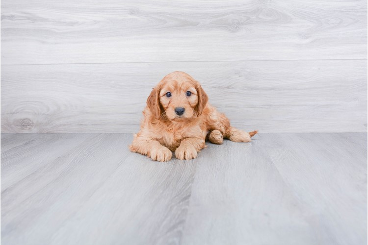 F1B COCKAPOO PUPPY 2