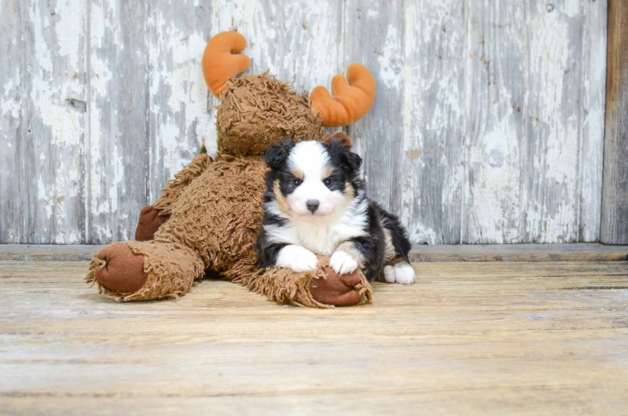 TOY AUSSIE PUPPY 3