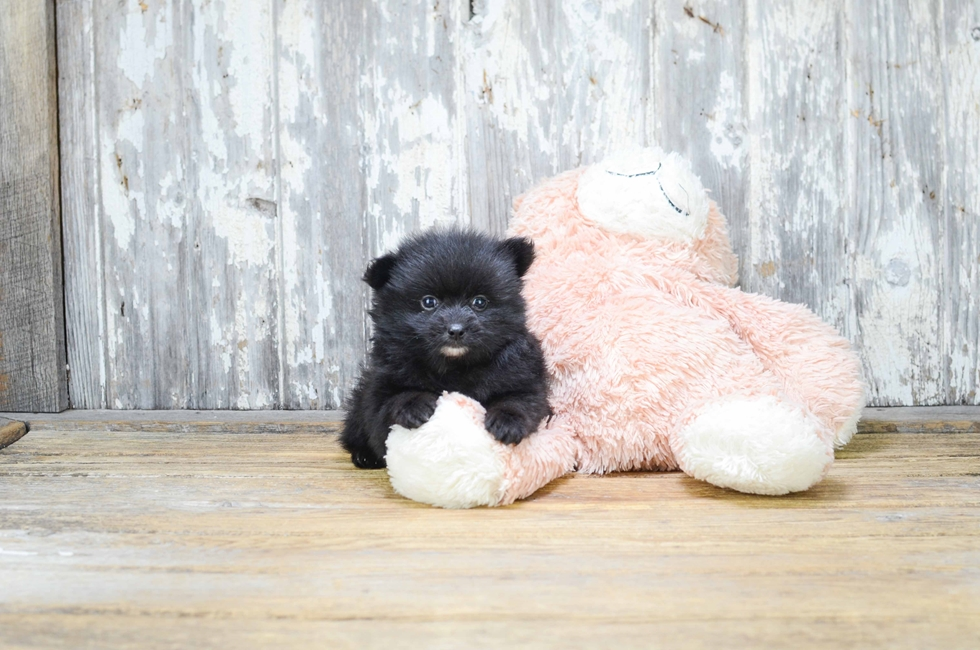 TEACUP POMERANIAN PUPPY - 9 week old Pomeranian for sale