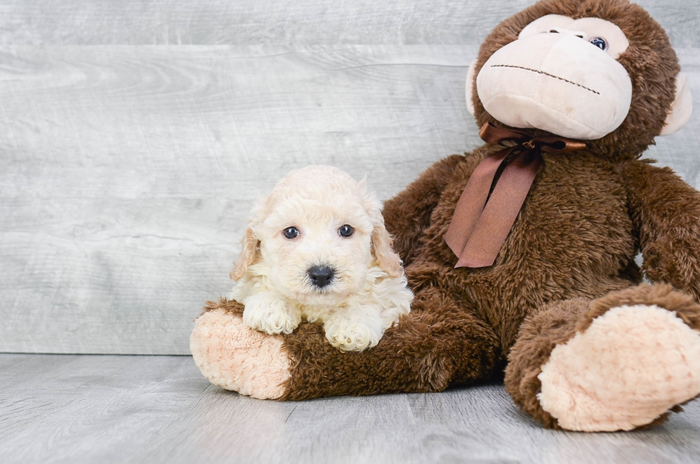 POO CHON PUPPY - 8 week old Malti Poo for sale