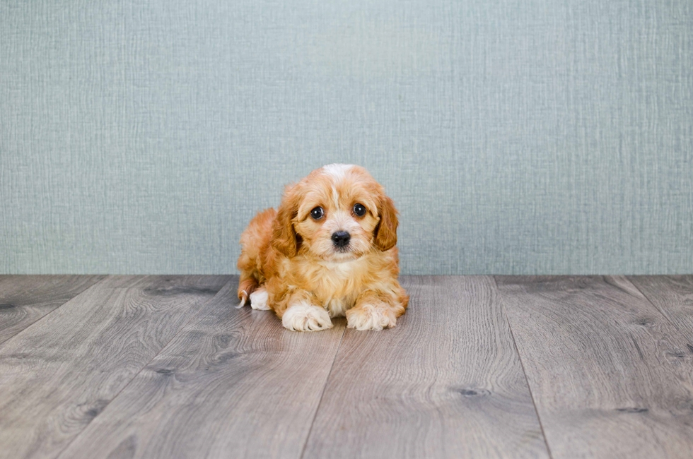 Small breed dogs for sale in ohio