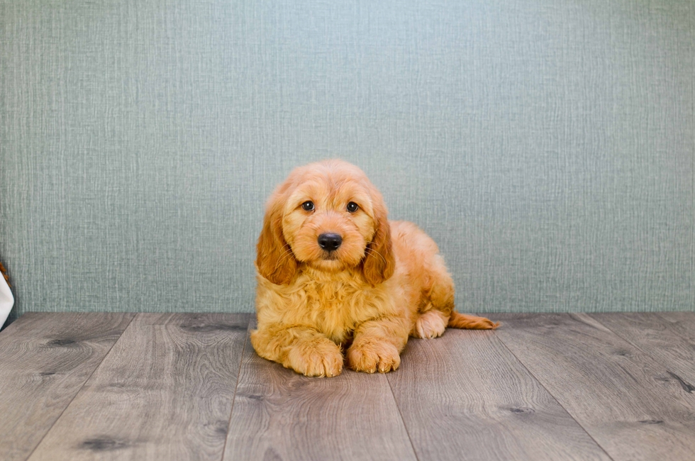 MINI GOLDENDOODLE PUPPY - 39 week old Mini Goldendoodle