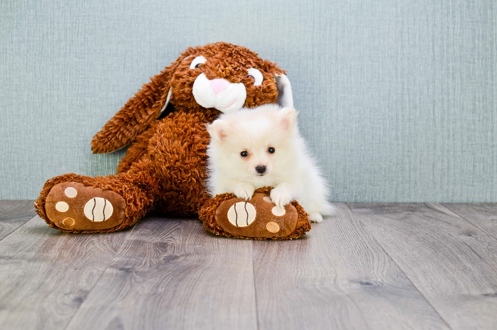MICRO TEACUP POMERANIAN PUPPY - 10 week old Pomeranian for sale