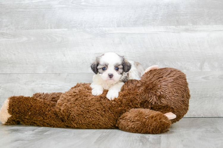 TEDDY BEAR PUPPY 4