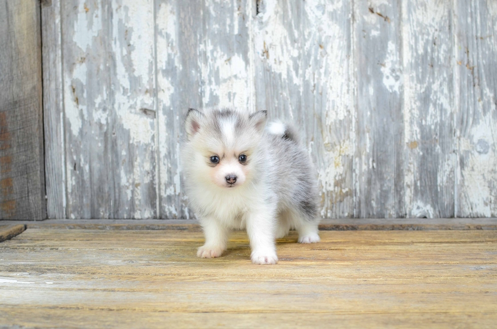 Pomsky Puppies For Sale Small Cross Puppies Breeds For Sale In Ohio