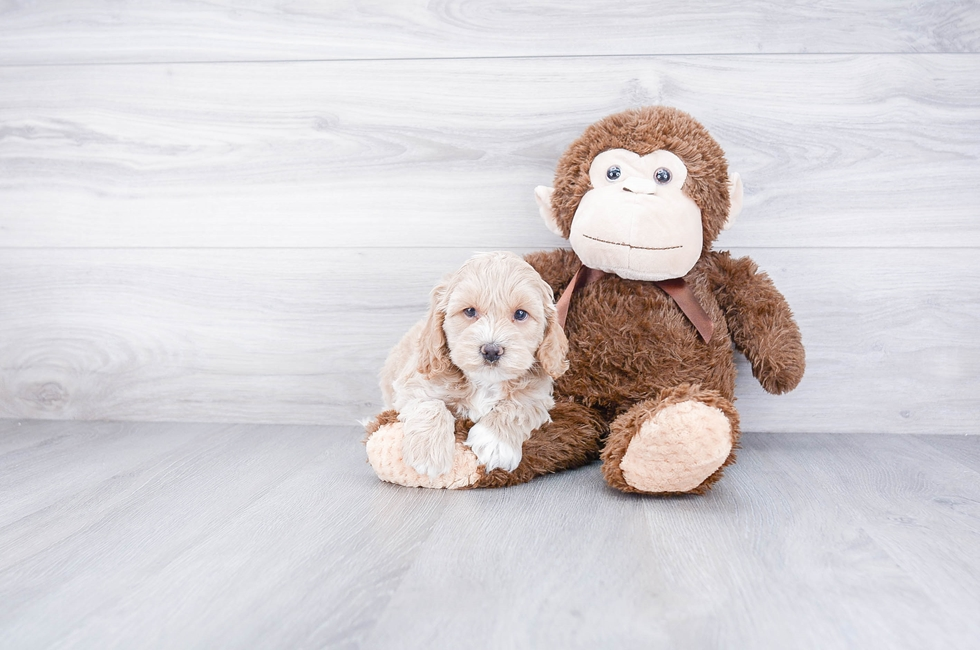 F1 COCKAPOO PUPPY - 8 week old Cockapoo for sale