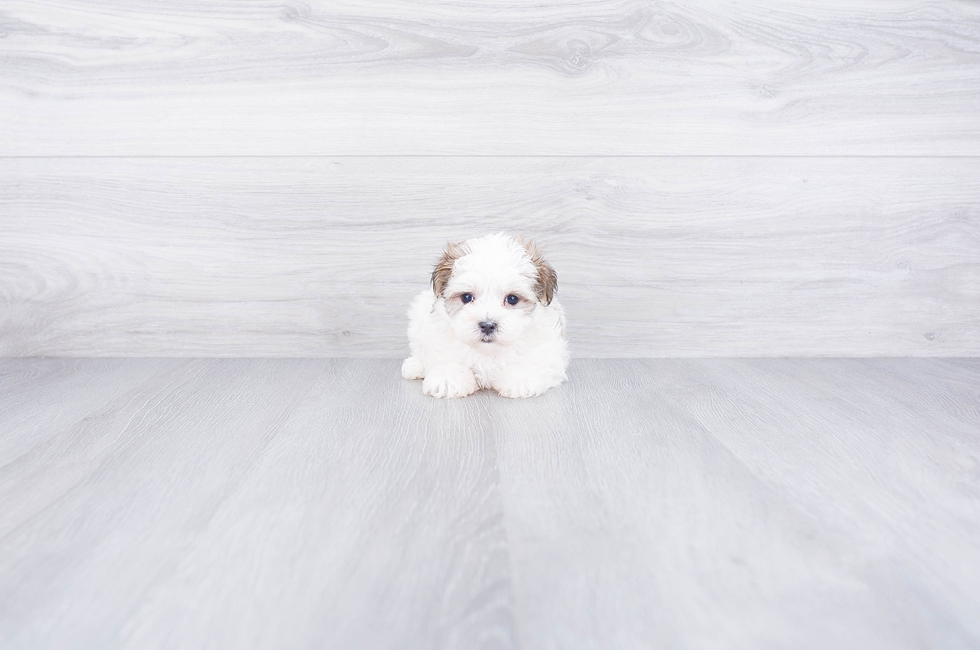 PARTI MORKIE PUPPY - 7 week old Morkie for sale