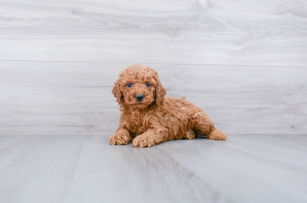 F1B COCKAPOO PUPPY - 8 week old Cockapoo for sale