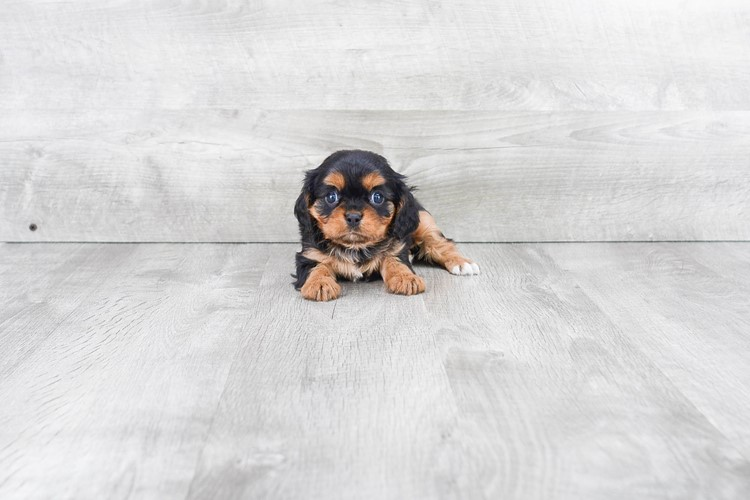 CAVALIER KING CHARLES SPANIEL PUPPY 1