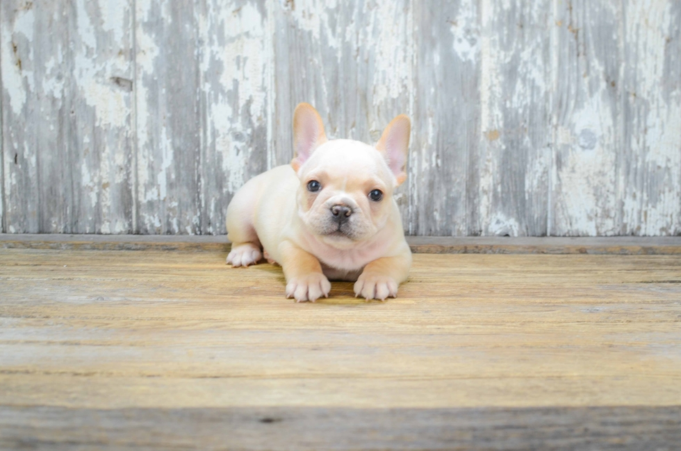 FRENCH BULLDOG PUPPY - 35 week old French Bulldog
